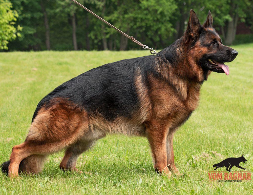 Puppies For Sale | Purebred GSD Puppies | Vomragnar German