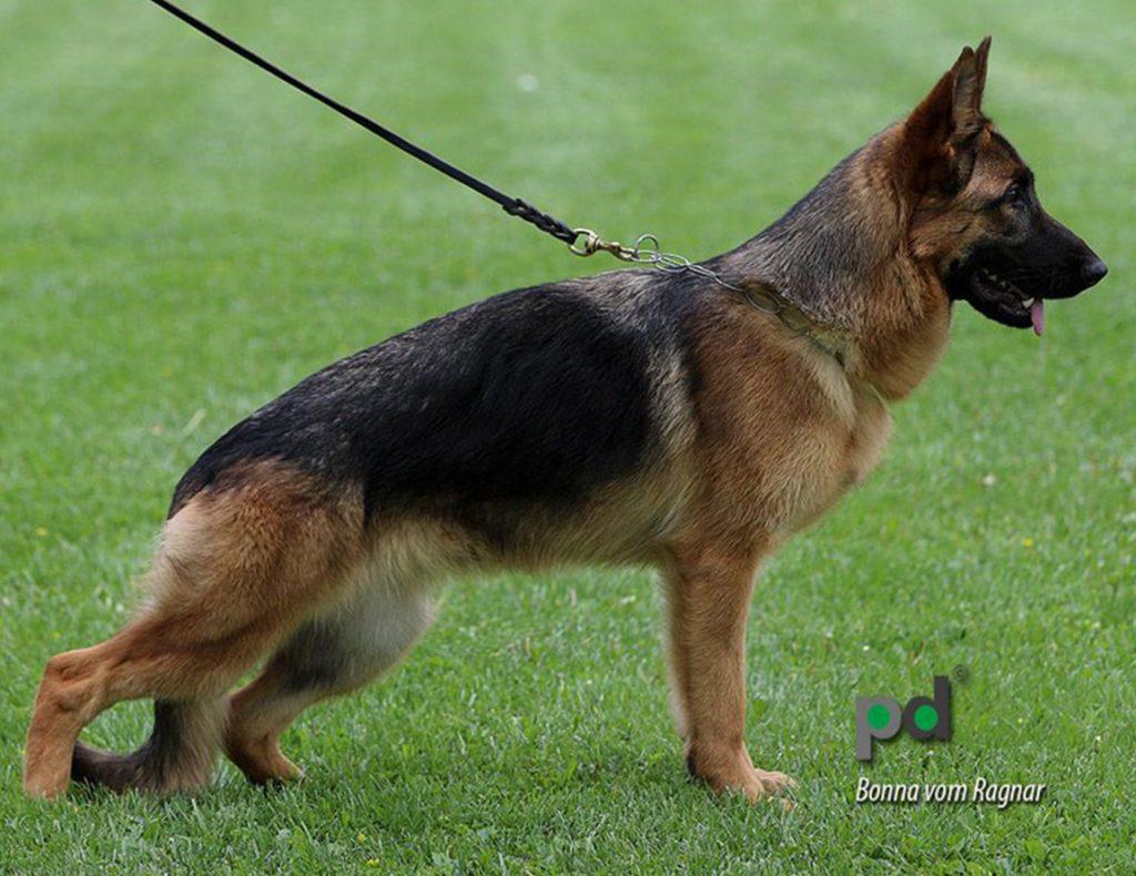 Working line German Shepherd Vomragnar