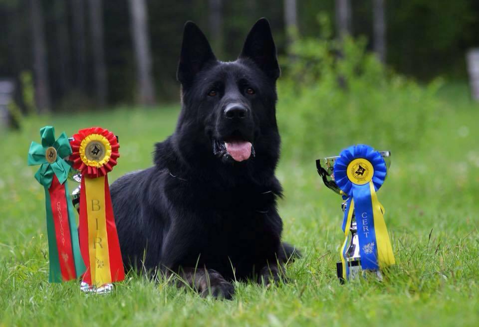 Showline German Shepherd Vomragnar