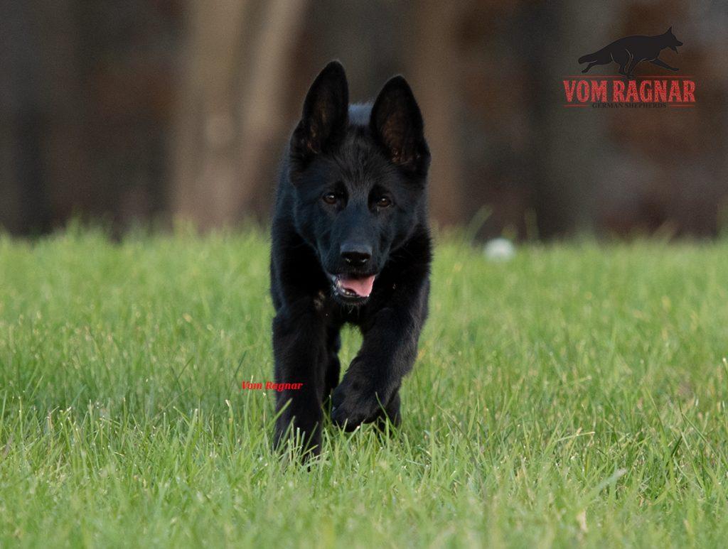 Gsd Breeder Geman Shepherd Puppies For Sale In Chicago Vom Ragnar