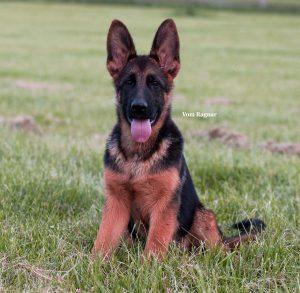 Iillinois German Shepherd Breeder