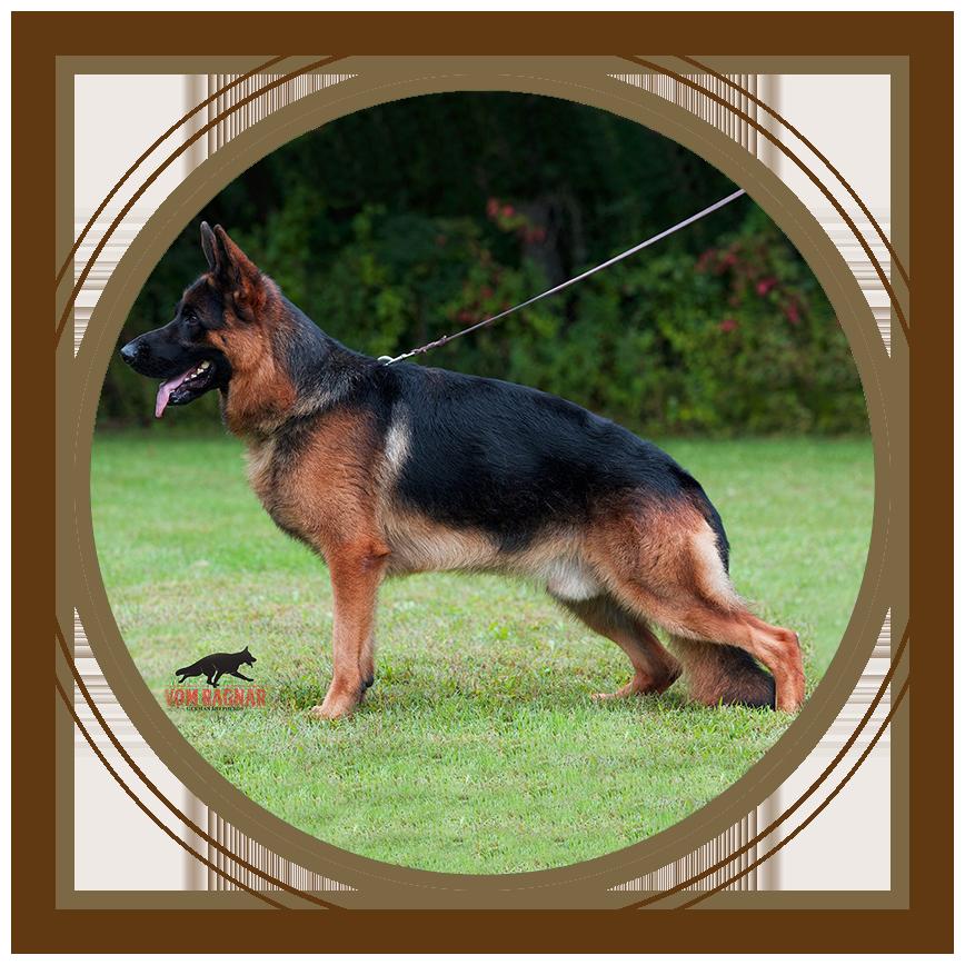 Puppies For Sale   Purebred Breeders   Vom Ragnar German